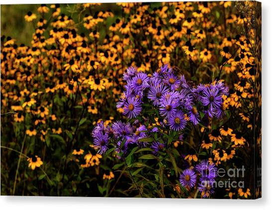 Mountain Dew Canvas Print - Asters And Black-eyed Susans by Thomas R Fletcher