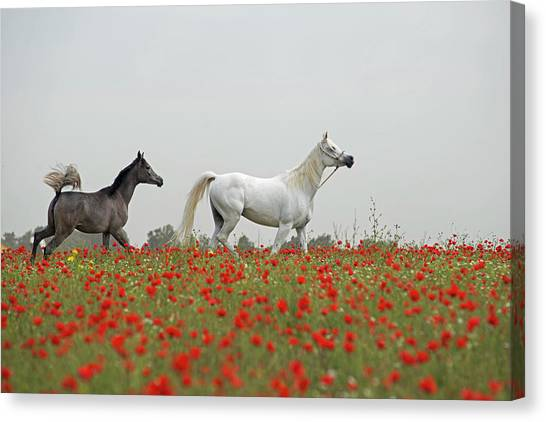 At The Poppies' Field... Canvas Print