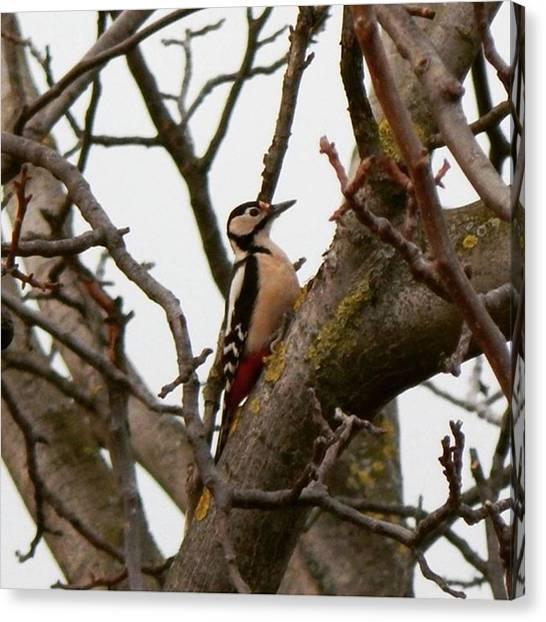 Woodpeckers Canvas Print - Ďateľ Veľký Great Spotted by Matej Szabo