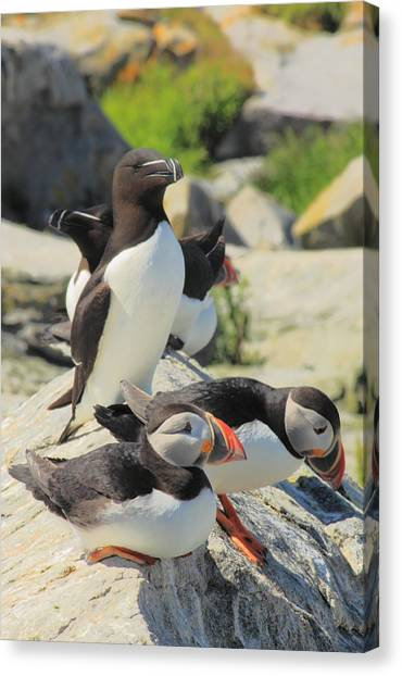 Razorbills Canvas Print - Atlantic Puffins And Razorbill by John Burk
