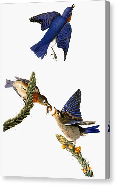 Artcom Canvas Print - Audubon: Bluebird by Granger