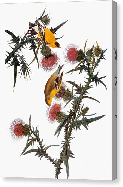 Artcom Canvas Print - Goldfinch by John James Audubon