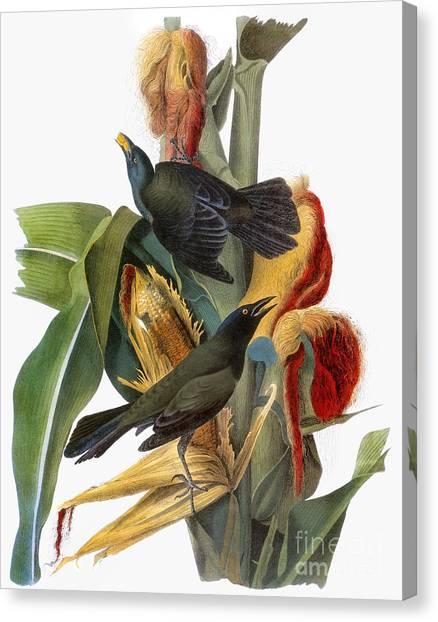 Indian Corn Canvas Print - Audubon: Grackle by Granger