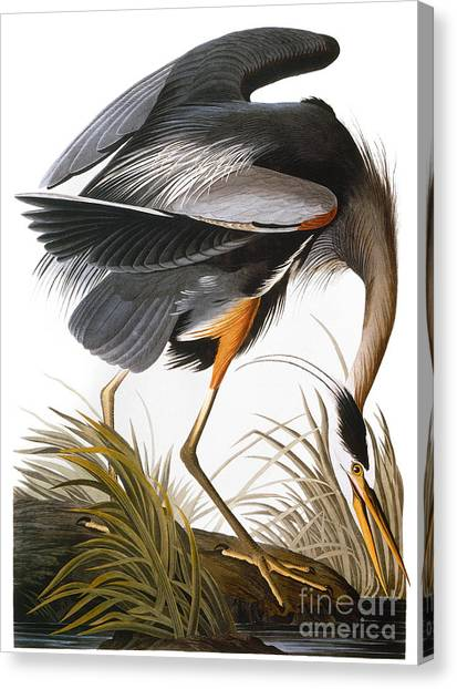 Artcom Canvas Print - Audubon Heron by John James Audubon
