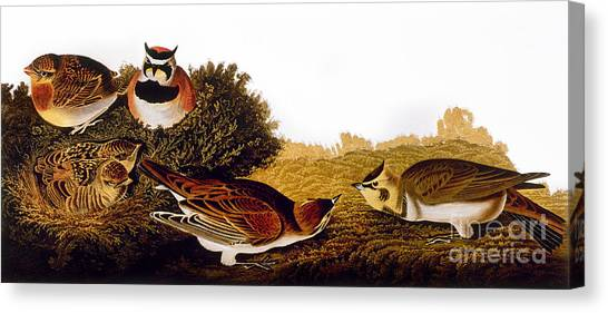 Artcom Canvas Print - Audubon Lark by John James Audubon