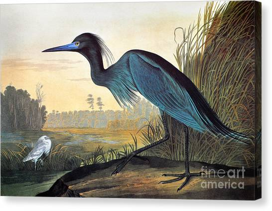 Marsh Grass Canvas Print - Little Blue Heron by John James Audubon