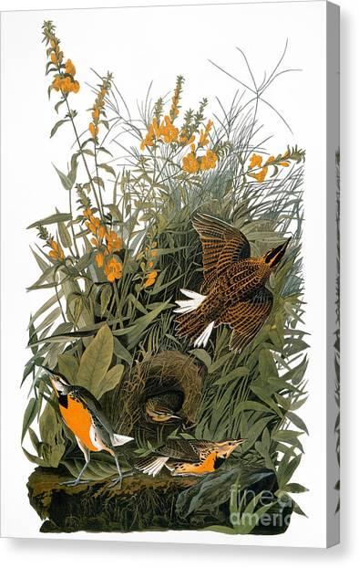 Meadowlarks Canvas Print - Audubon: Meadowlark by Granger