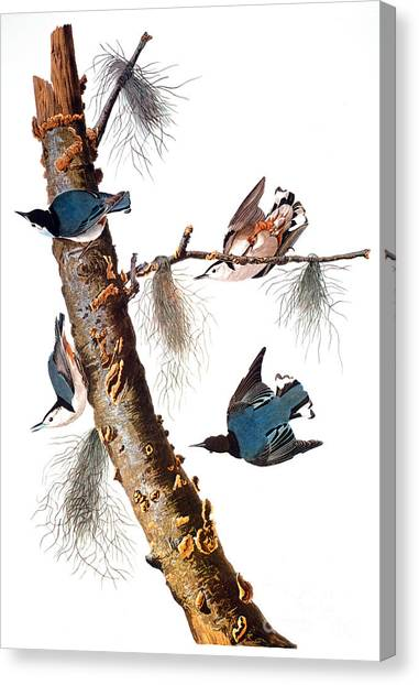 Artcom Canvas Print - Audubon: Nuthatch by Granger