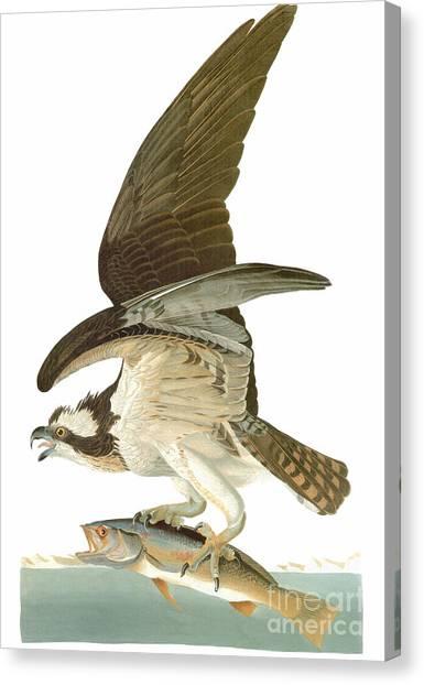 Osprey Canvas Print - Audubon: Osprey by Granger