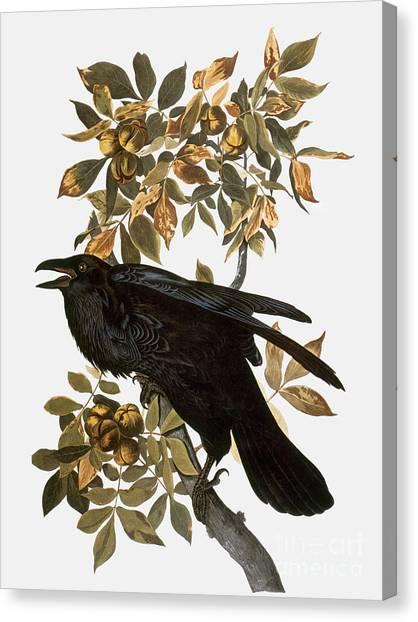 Aod Canvas Print - Audubon: Raven by Granger