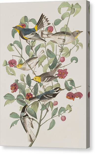 Warblers Canvas Print - Audubons Warbler Hermit Warbler Black-throated Gray Warbler by John James Audubon