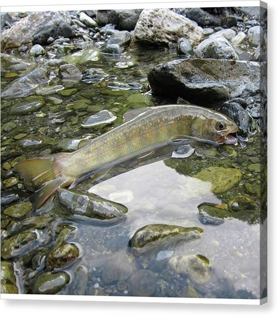 Fly Fishing Canvas Print - Aug/2014 Iwana @mountain Stream Japan by Shigeto Mori