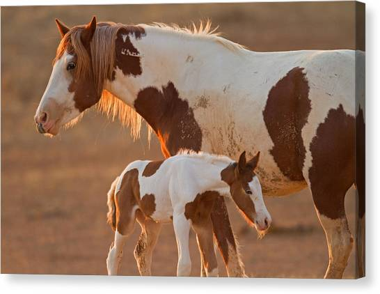 August Foal Canvas Print