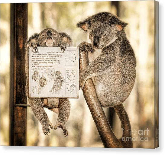 Canvas Print featuring the photograph Koala Australia  by Juergen Held