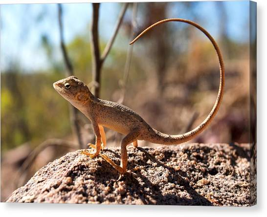 Lizards Canvas Print - Australian Dragon by Bill  Robinson