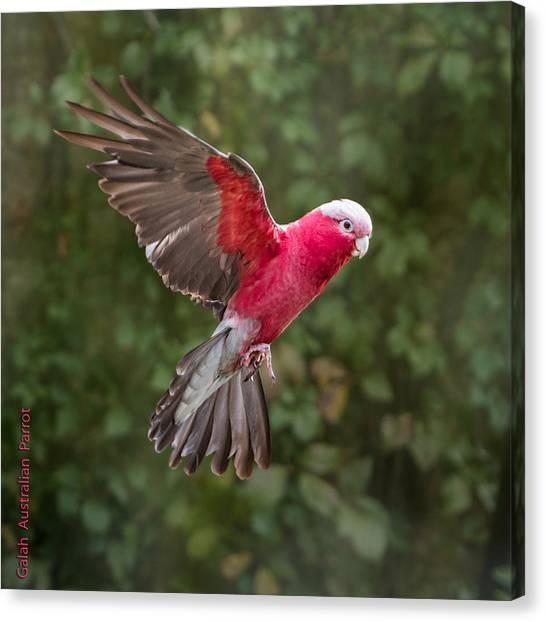 Australian Galah Parrot In Flight Canvas Print