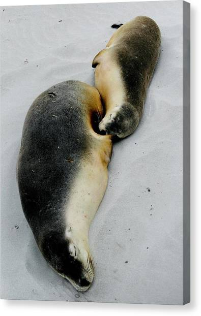 Australian Sea Lions Canvas Print