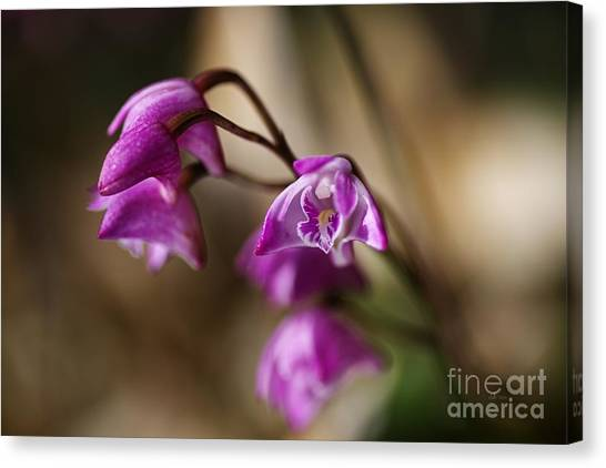 Australia's Native Orchid Small Dendrobium Canvas Print