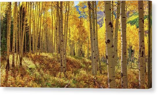 Autumn Aspen Forest Aspen Colorado Panorama Canvas Print