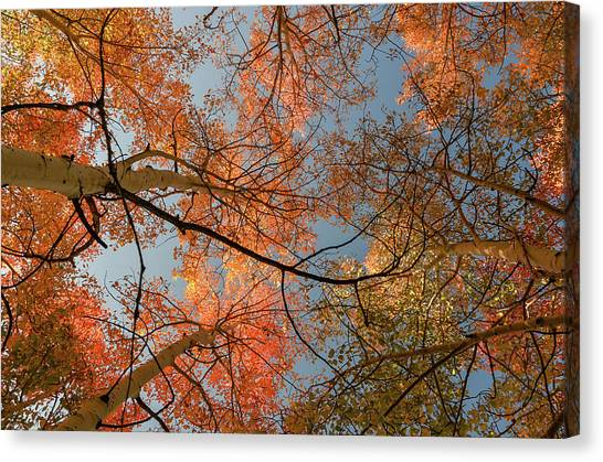 Autumn Aspens In The Sky Canvas Print