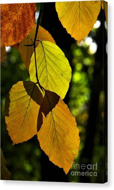 Autumn Beech Tree Leaves Canvas Print