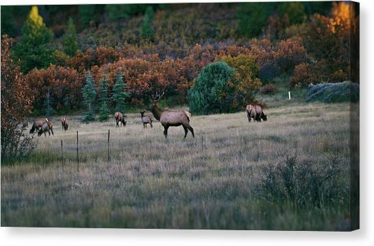 Canvas Print featuring the photograph Autumn Bull Elk by Jason Coward