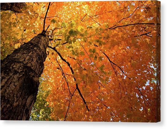 Autumn Canopy In Maine Canvas Print