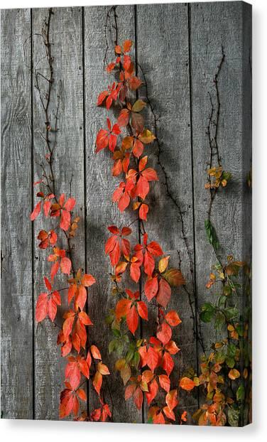 Autumn Creepers Canvas Print