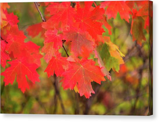 Canvas Print featuring the photograph Autumn Flash by Bryan Carter
