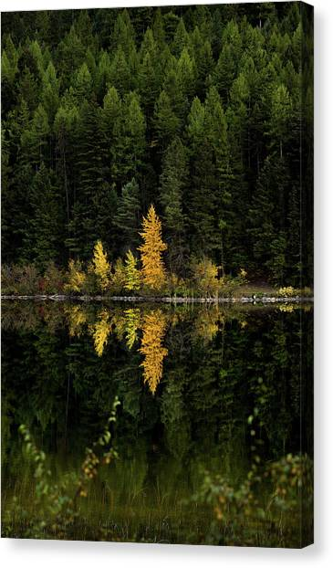 Canvas Print featuring the photograph Autumn Gold // Whitefish, Montana  by Nicholas Parker