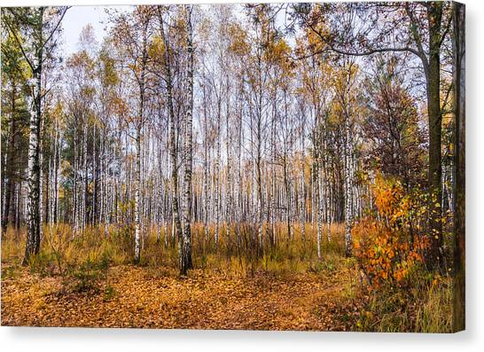 Autumn In The Birch Grove Canvas Print