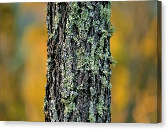 Autumn Leaves Canvas Print - Autumn Ironbark by Az Jackson