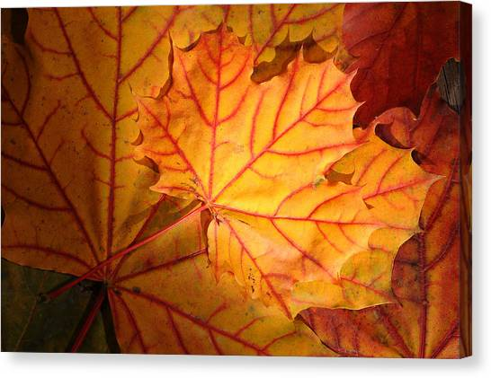 Autumn Maple Leaves Canvas Print