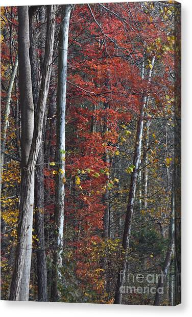 Autumn Trees 8261c Canvas Print
