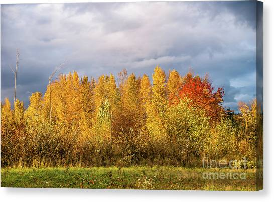 University Of Washington Canvas Print - Autumn Trees by Marv Vandehey
