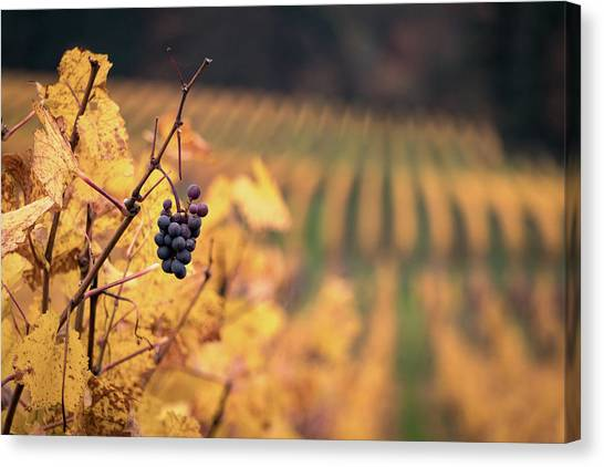 Autumn Vineyard Canvas Print by Jason Clarke