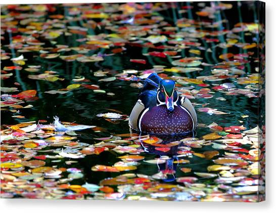 Autumn Wood Duck Canvas Print