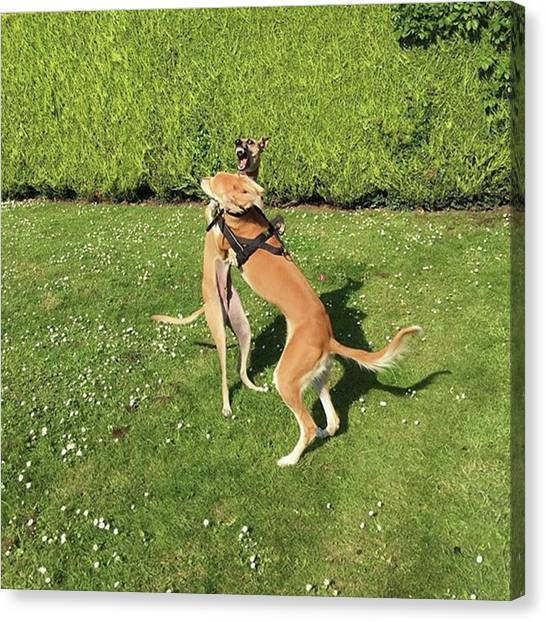 Canvas Print - Ava The Saluki And Finly The Lurcher by John Edwards
