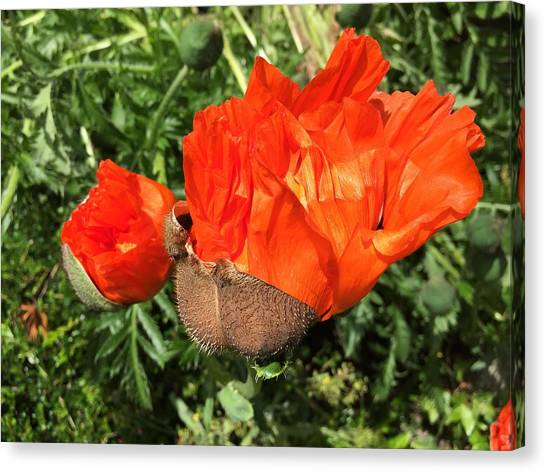 Canvas Print - Awakening Poppy by Orphelia Aristal