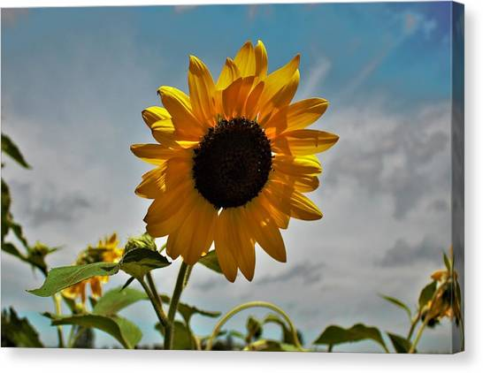 2001 - Awakening Sunflower Canvas Print