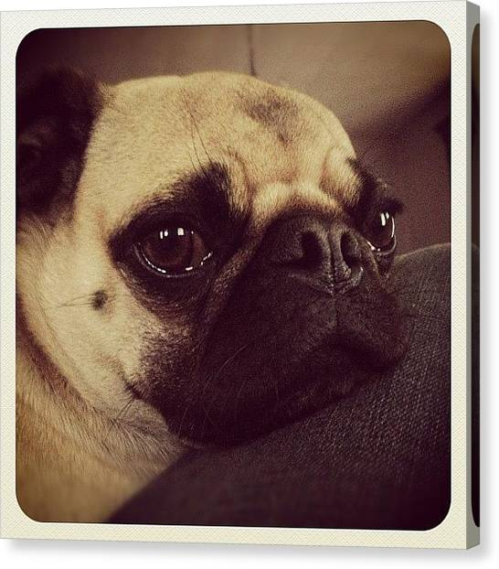 Pugs Canvas Print - Aww. Lazy Milo. #pug #puglife by Marc S