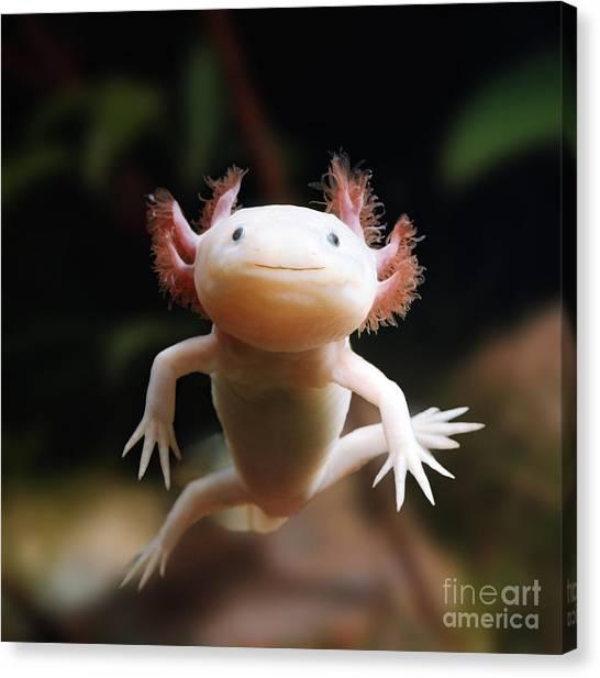 Axolotl Face Canvas Print