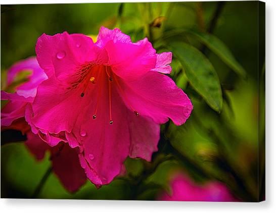 Azalea Blossom - Floral Canvas Print by Barry Jones