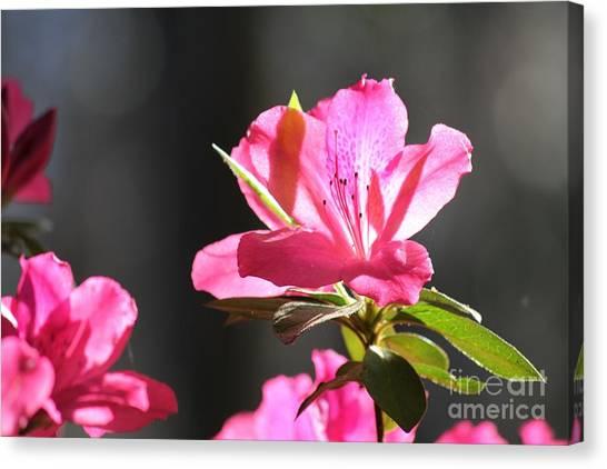 Azalea Blossom Canvas Print