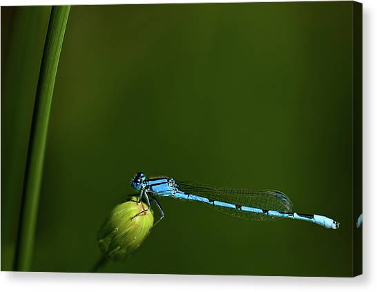 Azure Damselfly-coenagrion Puella Canvas Print