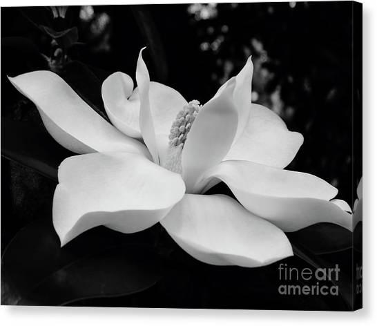 B W Magnolia Blossom Canvas Print