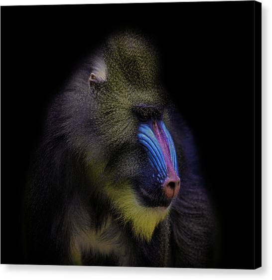 Small Mammals Canvas Print - Baboon Portrait by Martin Newman