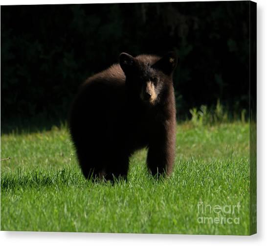 Black Bears Canvas Print - Baby Bear Stare by Mike Dawson