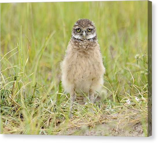 Baby Burrowing Owl Canvas Print by Keith Lovejoy