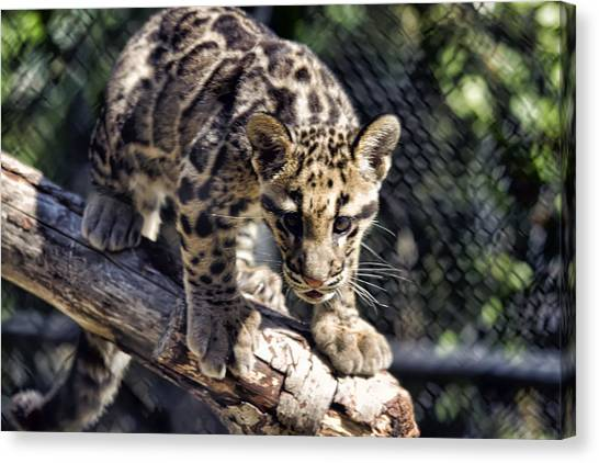Baby Clouded Leopard Canvas Print